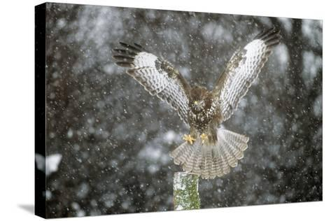 Buzzard Landing in Snow Shower--Stretched Canvas Print