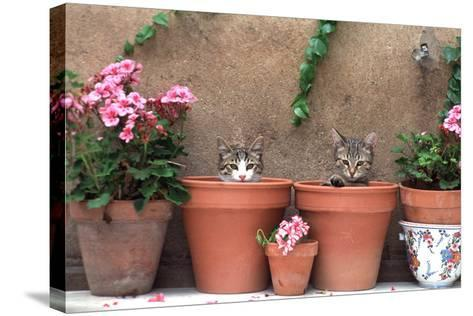 2 Kittens in Flowerpots--Stretched Canvas Print