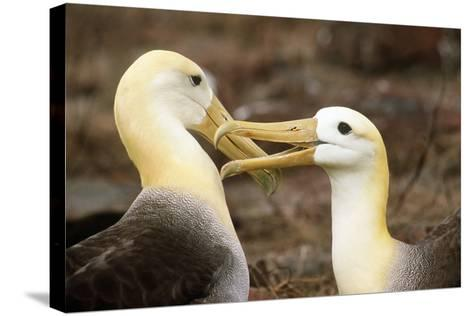Waved Albatross Courtship Display--Stretched Canvas Print