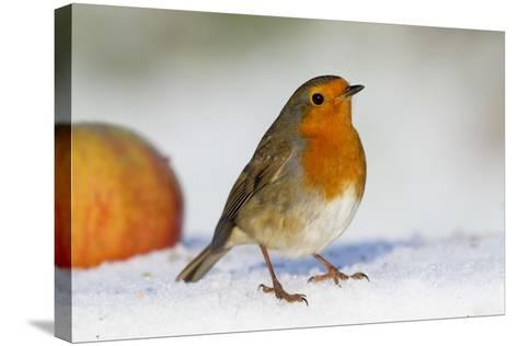 Robin in Snow with Apple--Stretched Canvas Print