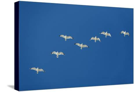 Herring Gull Flock in Flight--Stretched Canvas Print
