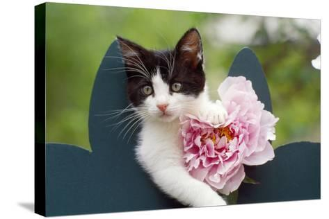 Cute Kitten with Pink Flower--Stretched Canvas Print