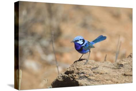Splendid Fairy-Wren--Stretched Canvas Print