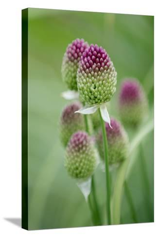 Round-Headed Leek Much Loved by Bees--Stretched Canvas Print