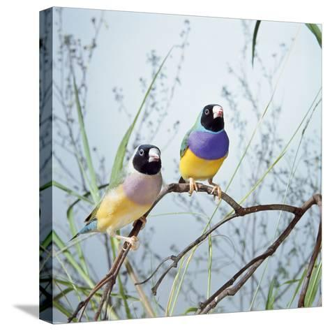 Black-Headed Gouldian Finch Pair--Stretched Canvas Print