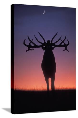 Red Deer Stag Roaring During Rutting Season, Dusk--Stretched Canvas Print