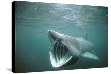 Basking Shark Mouth Open--Stretched Canvas Print