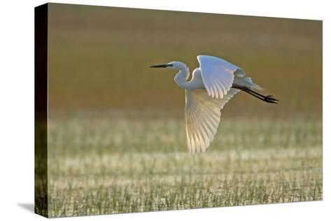 Great White Egret in Flight over Water Meadow--Stretched Canvas Print