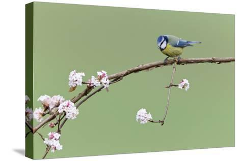 Blue Tit Perched on Flowering Viburnum Bush in Garden--Stretched Canvas Print