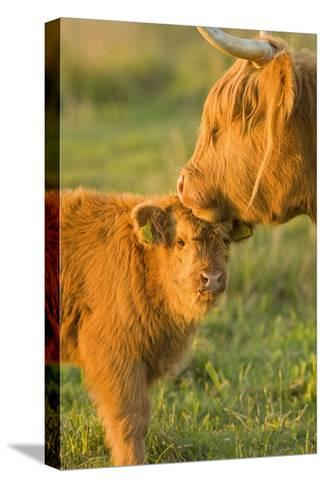 Highland Cattle, Adult with Young--Stretched Canvas Print