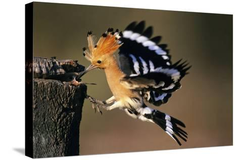 Hoopoe Bird Feeding Young in Flight--Stretched Canvas Print
