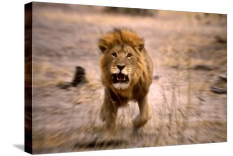 Lion Male, Charging--Stretched Canvas Print