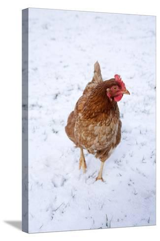 Chicken in Snow--Stretched Canvas Print
