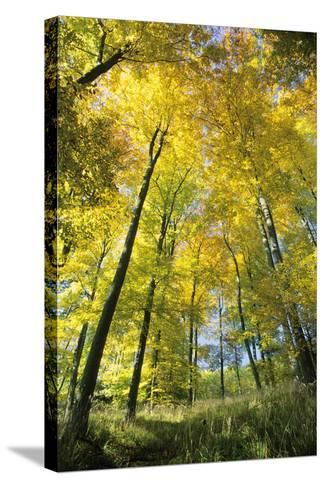 Beech Forest in Autumn Colour--Stretched Canvas Print