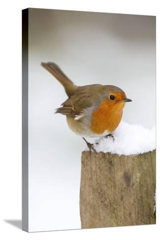 Robin on Post in Snow--Stretched Canvas Print