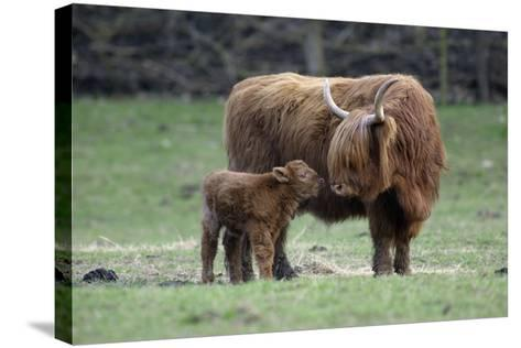 Highland Cow with Calf Calf Seeks Contact from Mother--Stretched Canvas Print