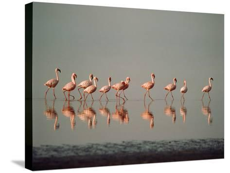 Lesser Flamingo Line of Eleven--Stretched Canvas Print