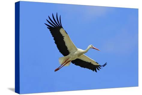 White Stork in Flight--Stretched Canvas Print