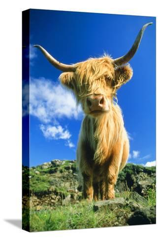Cattle, Highland Cow--Stretched Canvas Print