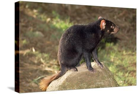 Tasmanian Devil Perched on Rock Enjoying Sun--Stretched Canvas Print
