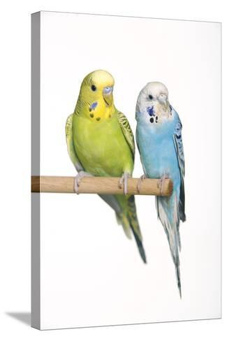 Budgerigar Two on Perch--Stretched Canvas Print