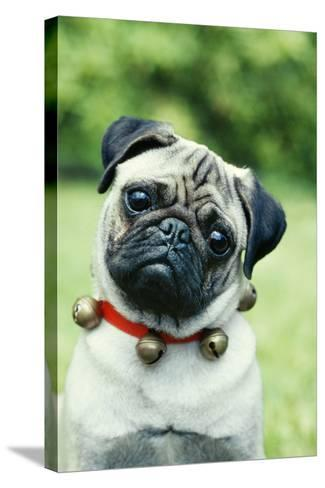 Pug Dog Wearing Collar with Bells--Stretched Canvas Print