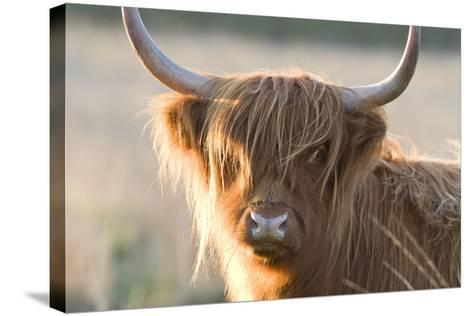 Highland Cattle--Stretched Canvas Print