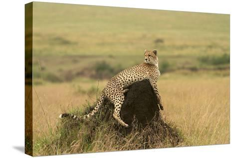 Cheetah Resting on Mound--Stretched Canvas Print