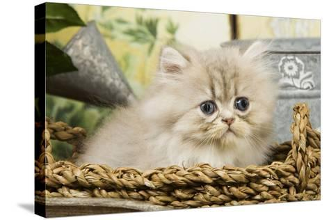 Blue Shaded Persian Kitten in Basket--Stretched Canvas Print