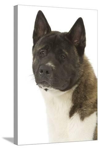 American Akita--Stretched Canvas Print