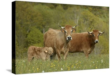 Aubrac Cows with Calf--Stretched Canvas Print