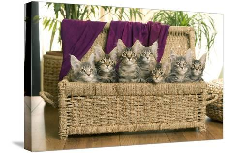 Maine Coon Group of Seven Kittens in Basket--Stretched Canvas Print