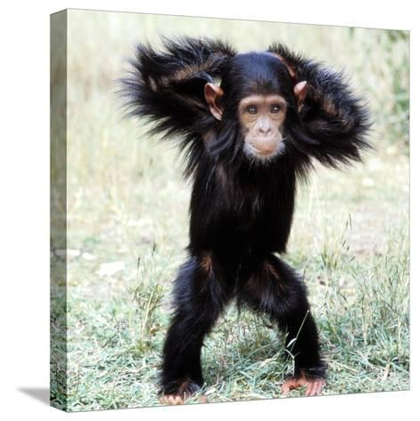 Chimpanzee Young, with Arms on Head--Stretched Canvas Print