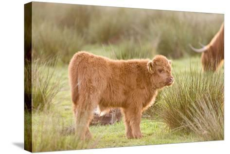 Highland Cattle Calf on Grazing Marsh--Stretched Canvas Print