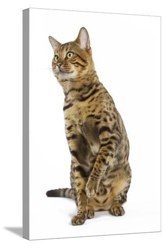 Bengal Brown Spotted Sitting in Studio--Stretched Canvas Print