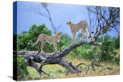 Cheetah Two on Branch--Stretched Canvas Print