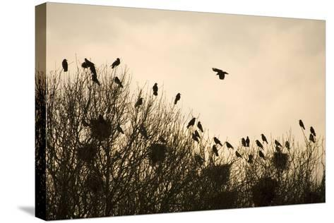 Rook Roosting in Tops of Trees in Winter--Stretched Canvas Print