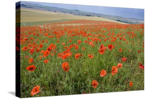 Common Poppies on the Berkshire Downs--Stretched Canvas Print