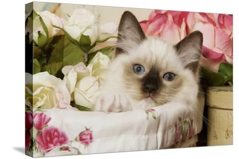 Ragdoll Seal Kitten--Stretched Canvas Print