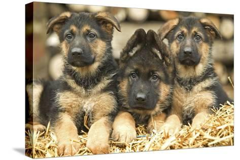 German Shepherd Three Puppies--Stretched Canvas Print