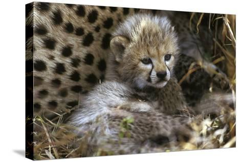 Cheetah Cub--Stretched Canvas Print