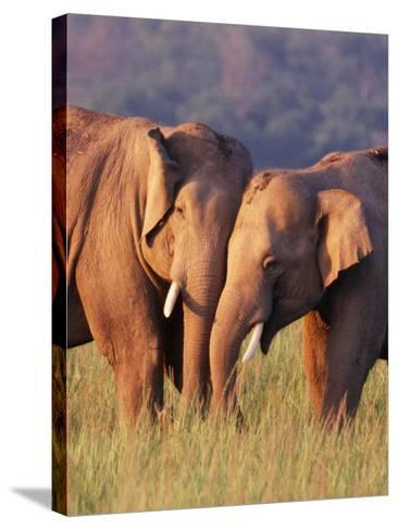 Asian Elephants--Stretched Canvas Print