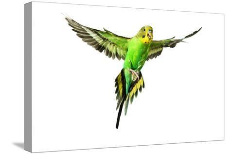 Budgerigar in Flight--Stretched Canvas Print