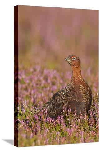 Red Grouse Standing Amongst Heather in Early--Stretched Canvas Print
