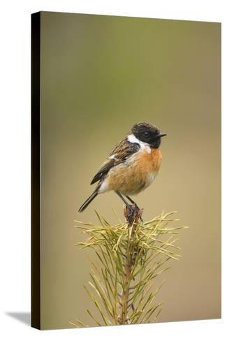 Stonchat Male Perched on Top of a Young Conifer Tree May--Stretched Canvas Print