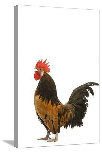 Cockerel Breed Bassette Liegeoise in Studio--Stretched Canvas Print