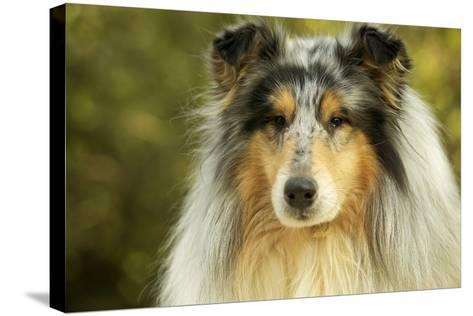 Rough Collie Dog--Stretched Canvas Print