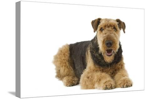 Airedale Terrier--Stretched Canvas Print