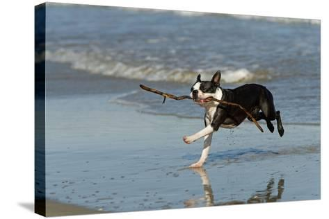 Boston Terrier Running in Sea with Stick--Stretched Canvas Print