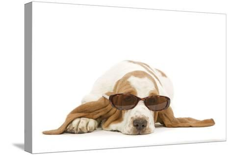 Basset Hound in Studio Wearing Sunglasses--Stretched Canvas Print